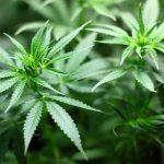 Medyczna marihuana - gdzie jest legalna?